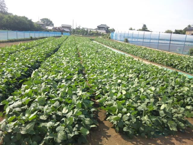 鉄腕ダッシュで紹介された千葉県野田市の枝豆を食べるには?お取り寄せ方法!